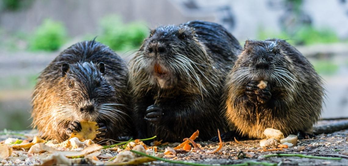three-rats.jpg