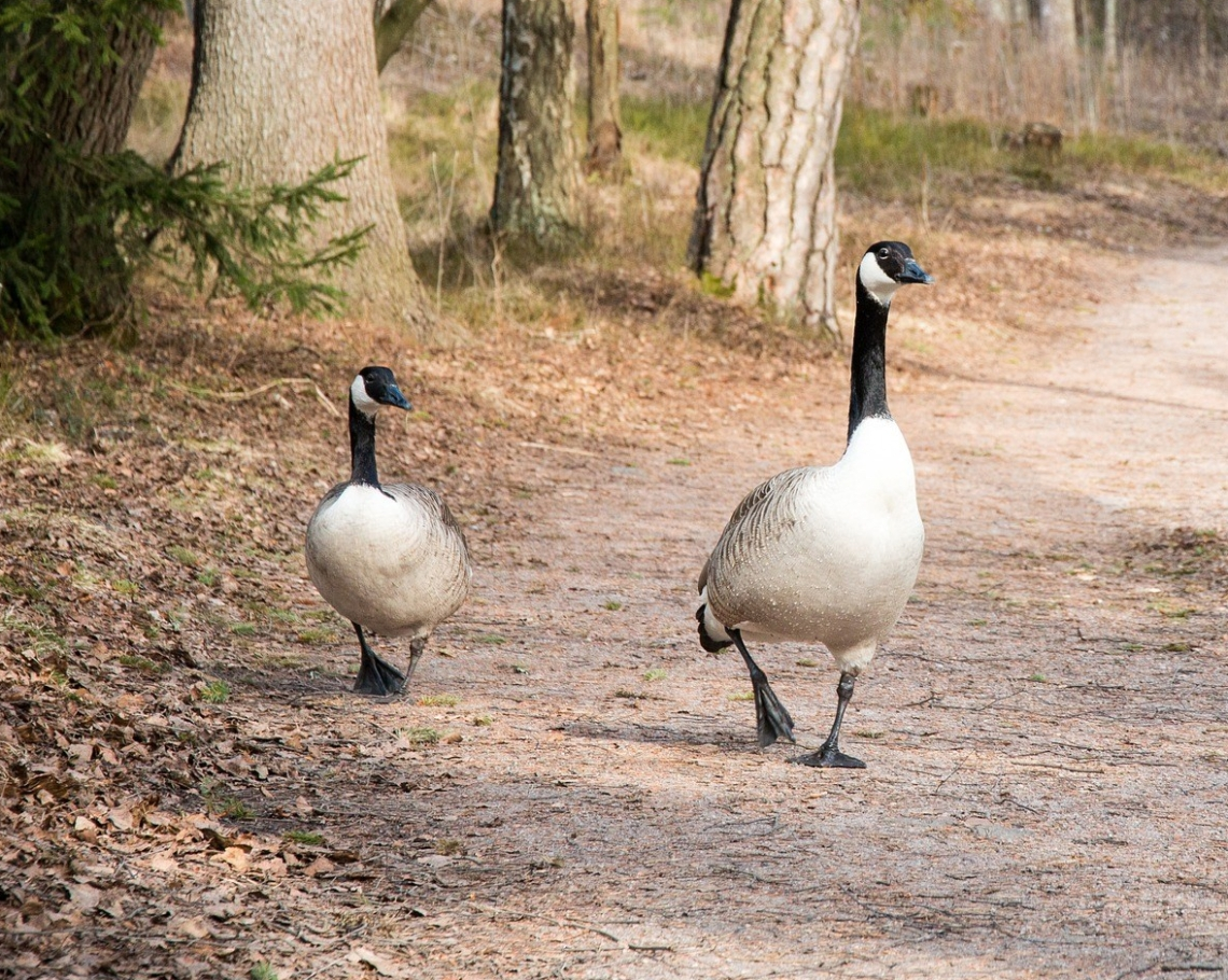 canada-goose-for a walk